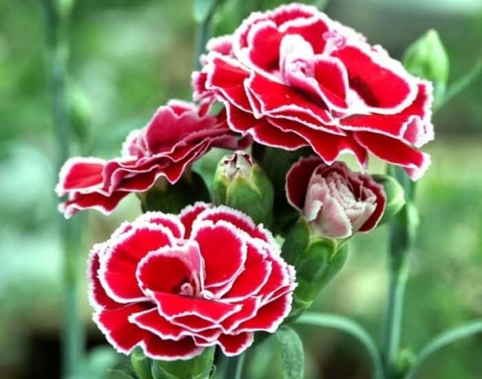 Gambar Bunga Anyelir