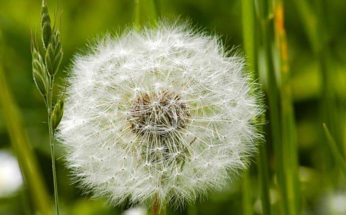 Gambar Bunga Dandelion