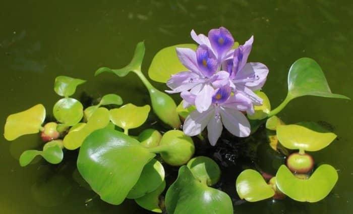 Gambar Bunga Eceng Gondok