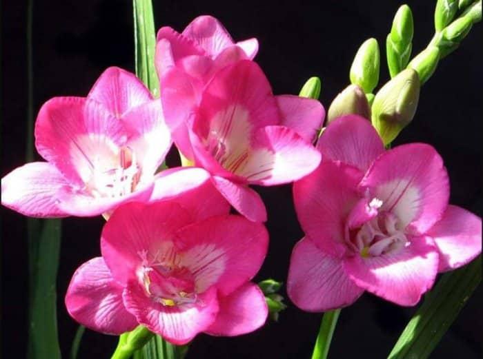 Gambar Bunga Freesia