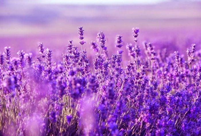 Gambar Bunga Lavender