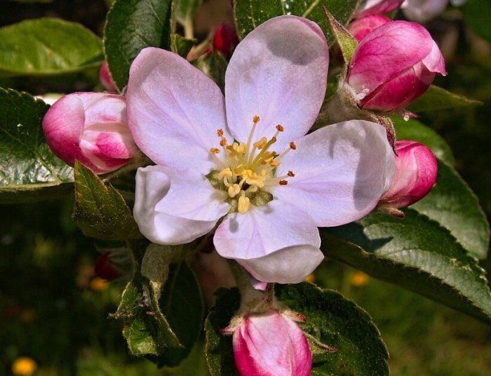 Gambar Bunga Apel