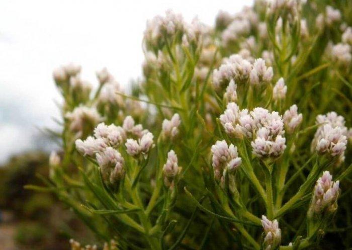 Gambar Bunga Edelweis