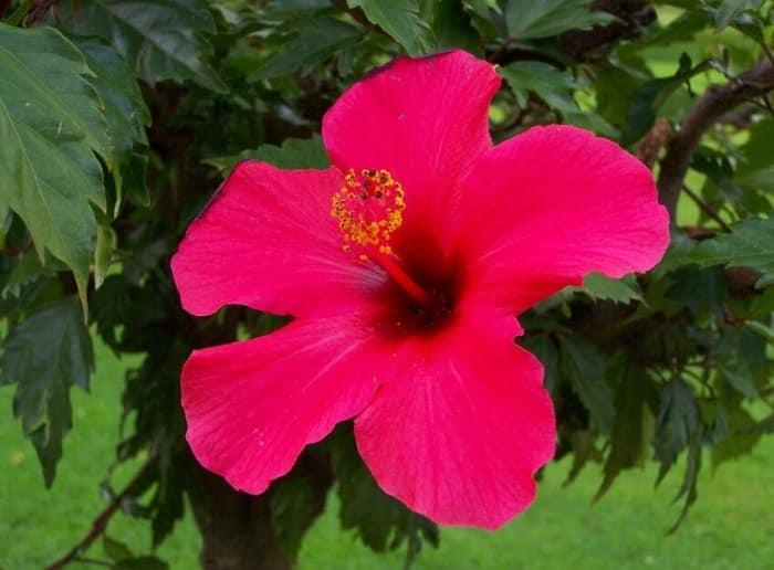 Gambar Bunga Kembang Sepatu