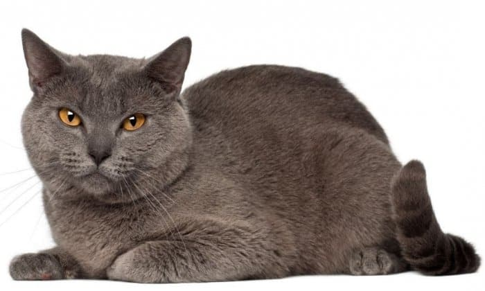 Jenis Kucing Chartreux