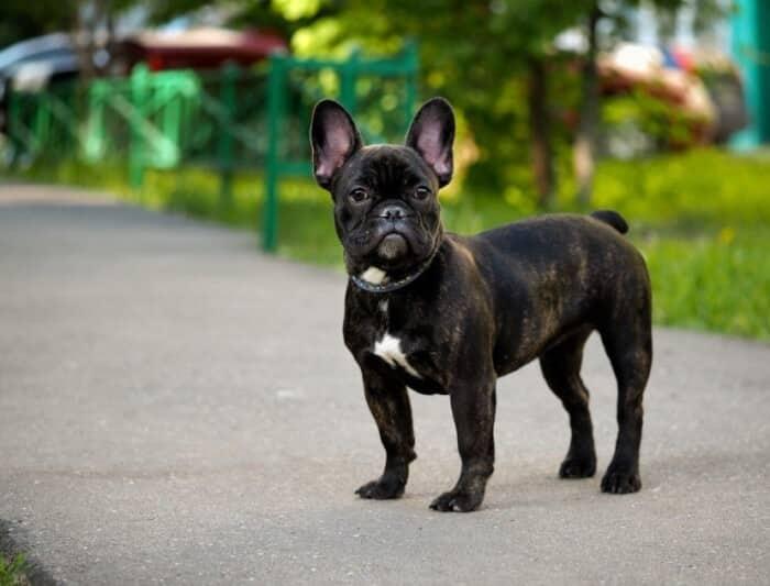 Jenis Anjing Buldog Perancis