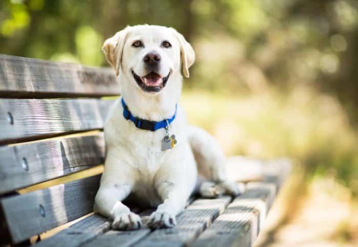 Jenis Anjing Labrador Retriever