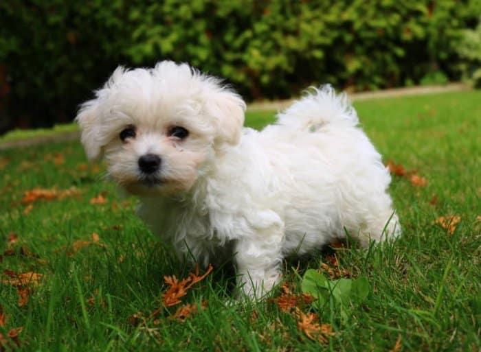 Jenis Anjing Maltese