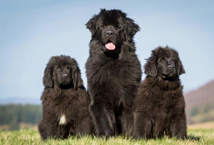 Jenis Anjing Newfoundland