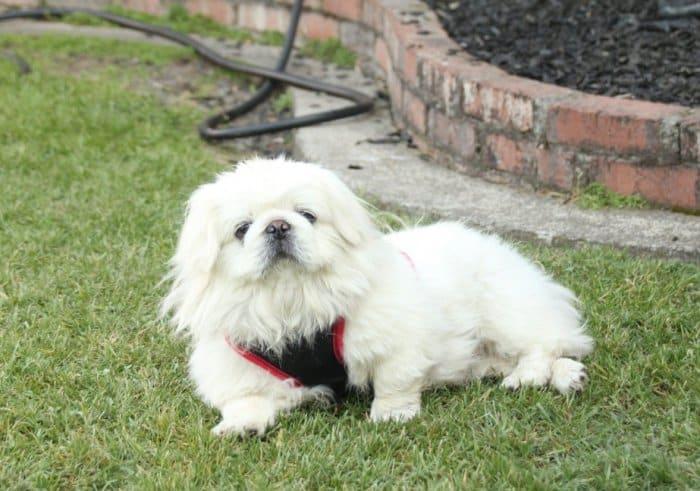 Jenis Anjing Pekines