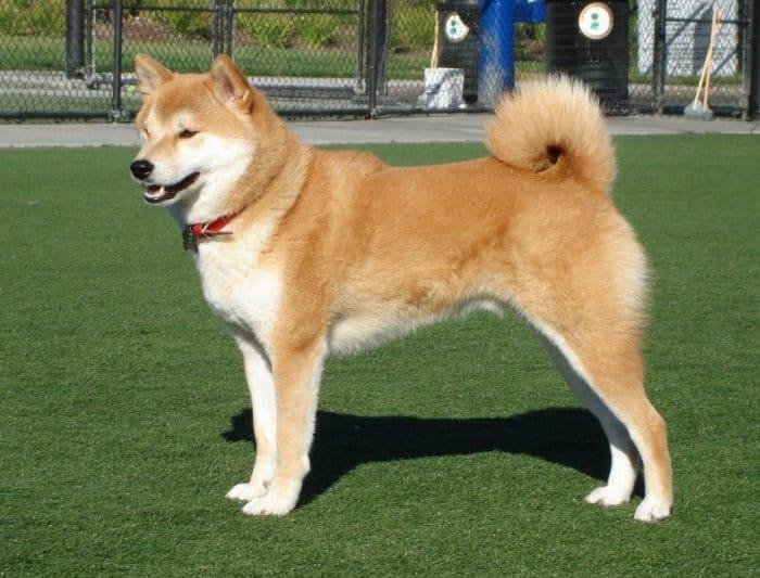 Jenis Anjing Shiba Inu