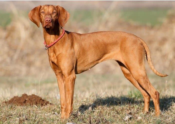 Jenis Anjing Viszla