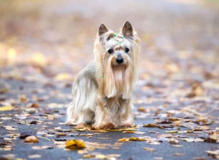 Jenis Anjing Yorkshire Terrier