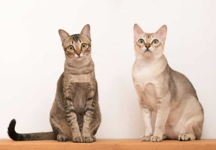 30 Jenis Kucing Paling Populer Di Dunia Lucu Pintar Comel