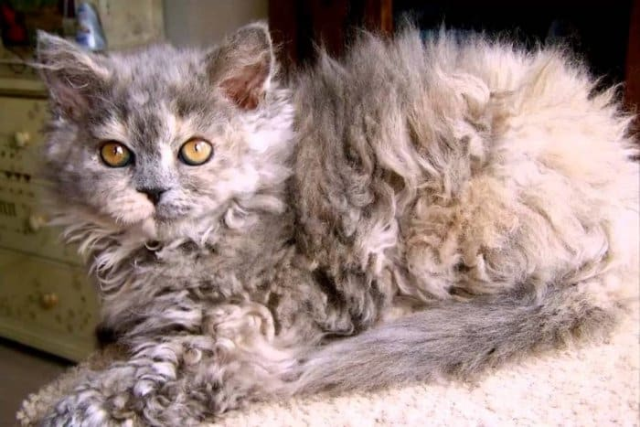Jenis Kucing Laperm