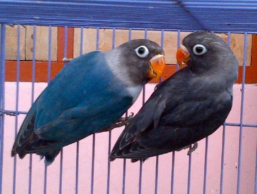 Lovebird Biru Mangsi Thegorbalsla