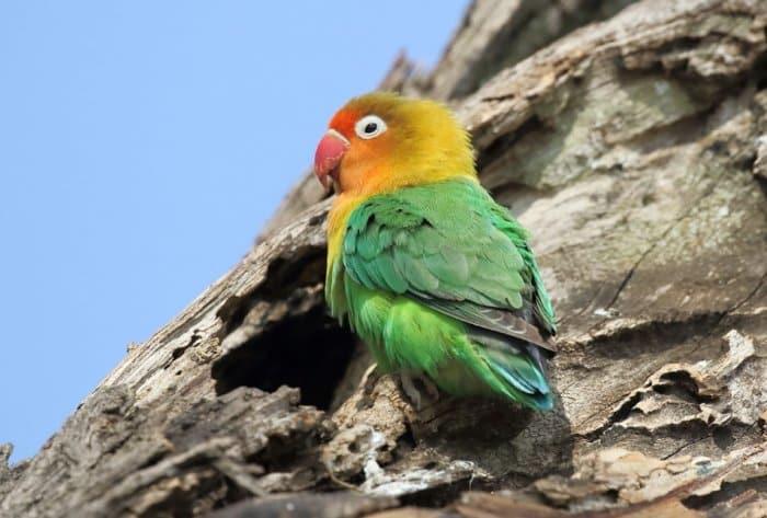 Download 930+  Gambar Burung Lovebird Fischer   Free