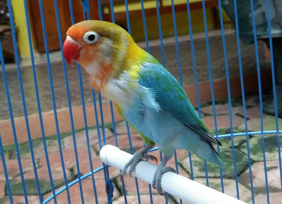 Lovebird Halfsider - Thegorbalsla