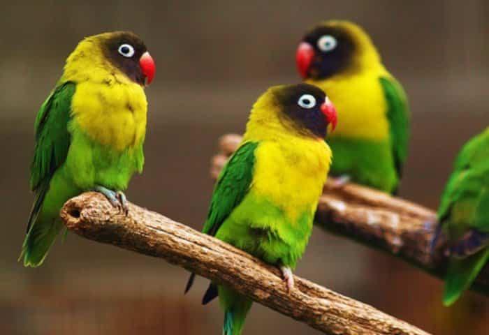Jenis Lovebird