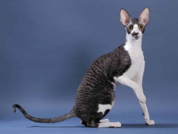 Jenis Kucing Rex Cornish