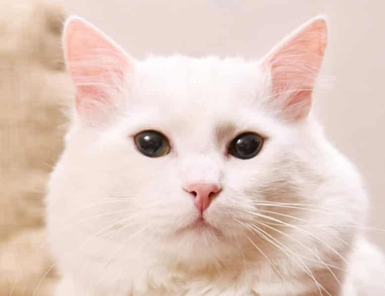 Cara Mengawinkan Kucing Anggora Thegorbalsla