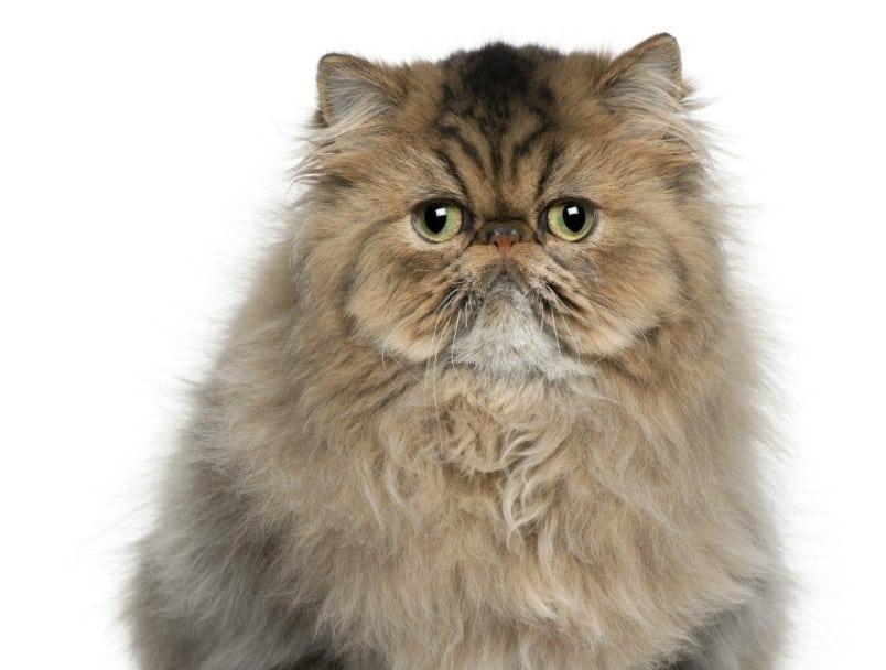 Cara Mengawinkan Kucing Persia Thegorbalsla