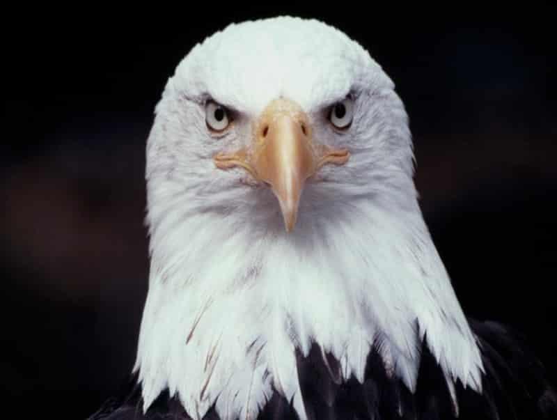Cara Menjinakkan Burung Elang Yang Liar Thegorbalsla