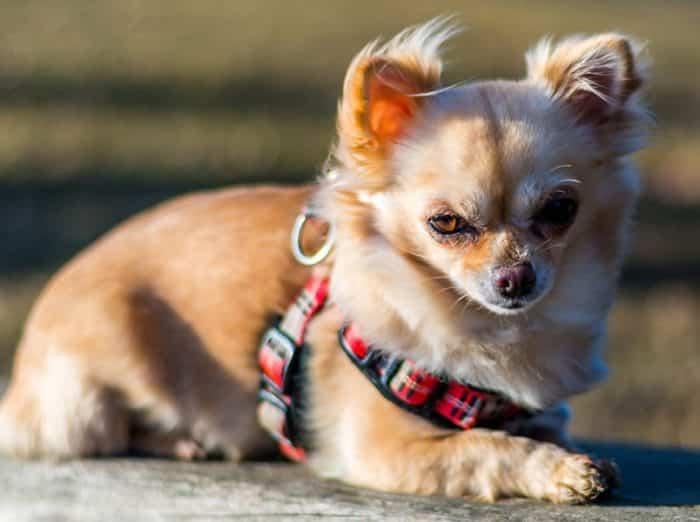 Anjing Chihuahua Cara Merawat Pakan Harga Jual Lengkap