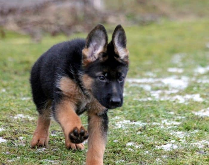 Anjing Herder Cara Merawat Pakan Harga Jual Lengkap
