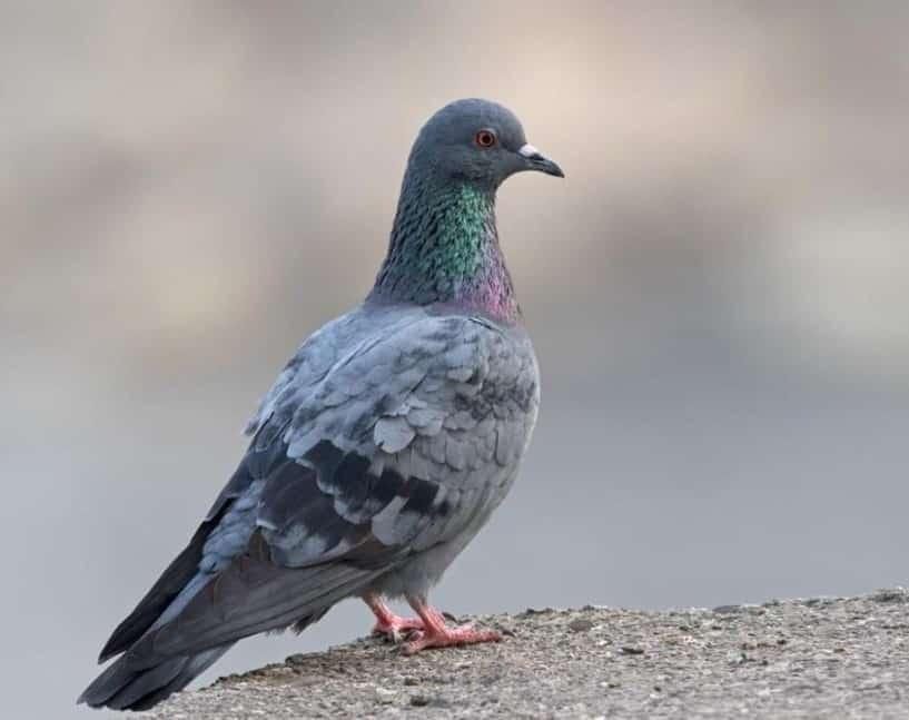 Burung Dara Cara Merawat Pakan Harga Jual Lengkap
