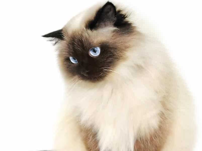 Ciri Ciri Kucing Himalaya Thegorbalsla