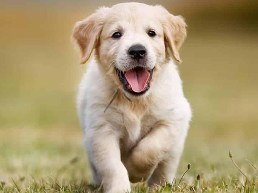 Kelebihan Anjing Golden - Thegorbalsla