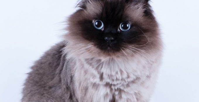 Kucing Himalaya Cara Merawat Pakan Harga Jual Lengkap