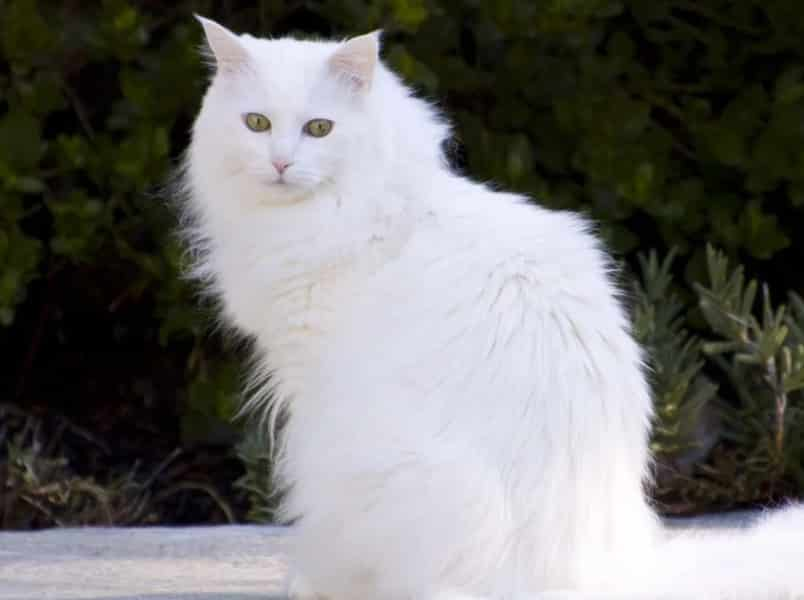 Kucing Anggora Cara Merawat Pakan Harga Jual Lengkap