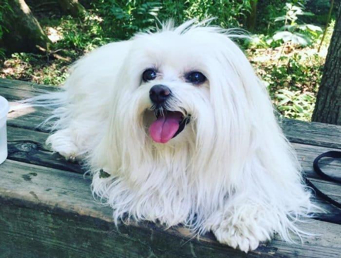 Anjing Maltase Cara Merawat Pakan Harga Jual Lengkap