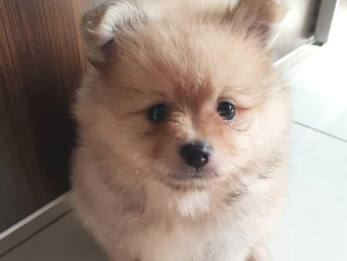Anjing Mini Pom Cara Merawat Pakan Harga Jual Lengkap
