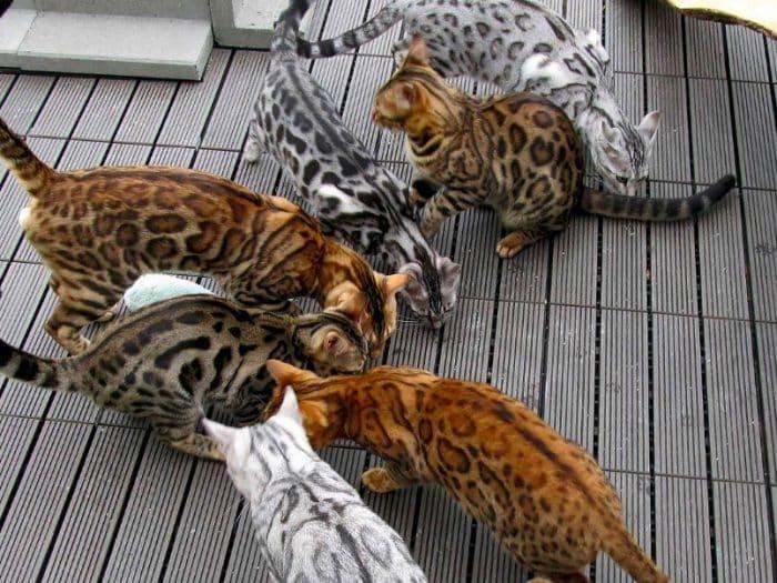 Kucing Bengal Cara Merawat Pakan Harga Jual Lengkap