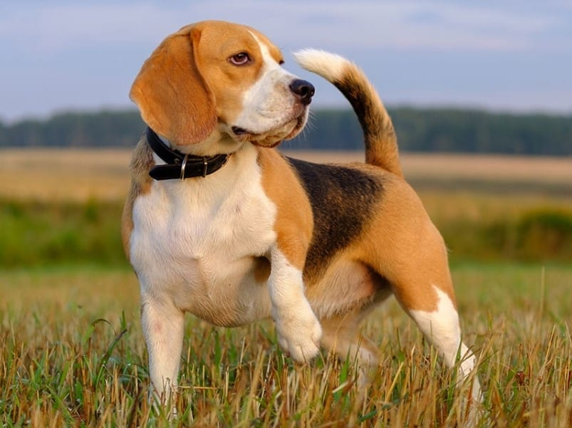 Tanda Depresi atau Bosan Anjing Beagle - Thegorbalsla