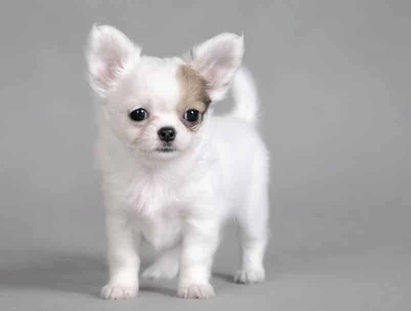 Temperamen Anjing Chihuahua Thegorbalsla