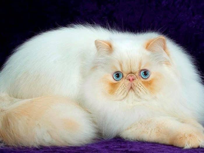 Download 66+  Gambar Kucing Persia Paling Lucu Gratis