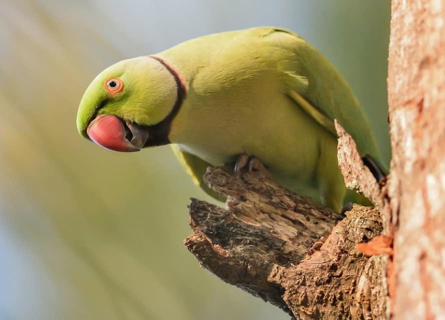Burung Beo Cara Merawat Pakan Harga Jual Lengkap