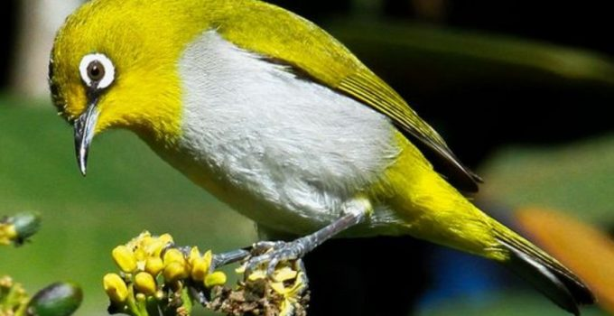 Burung Pleci Cara Merawat Pakan Harga Jual Lengkap