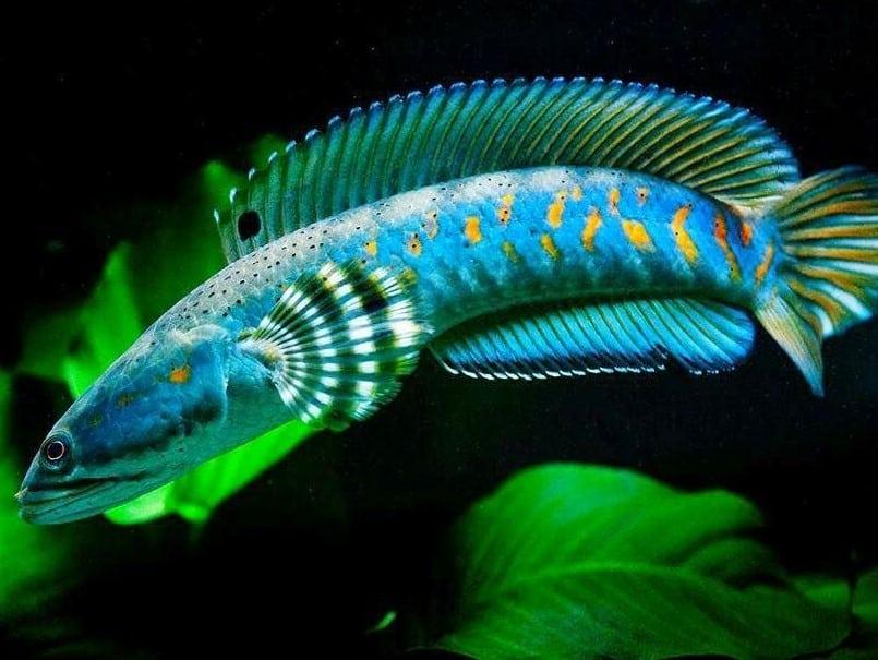 Jenis Ikan Gabus Gambar Ikan Top 10 Pedia 10 Jenis Ikan Gabus Hias Air Tawar Yang Populer Facebook