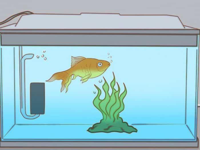 Ikan Koki