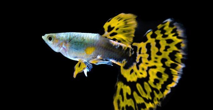 Ikan Guppy Cara Merawat Budidaya Jenis Pakan Lengkap