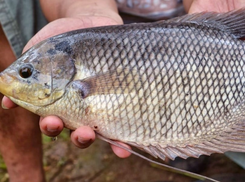 Ikan Gurame Cara Merawat Budidaya Pakan Harga Jual Lengkap