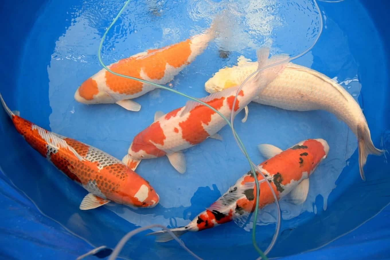 Ikan Koi Cara Merawat Budidaya Jenis Harga Jual Lengkap