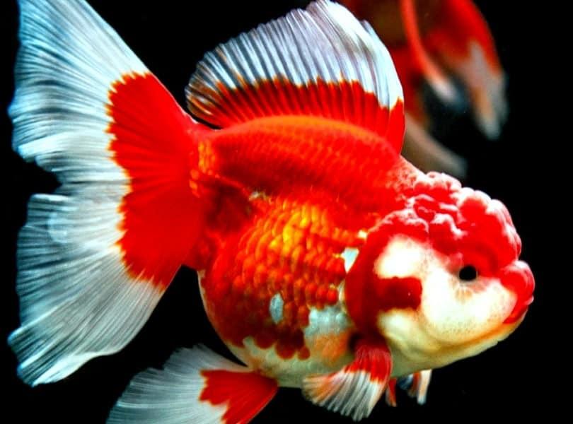 Ikan Koki Jenis Cara Merawat Pakan Harga Jual Lengkap