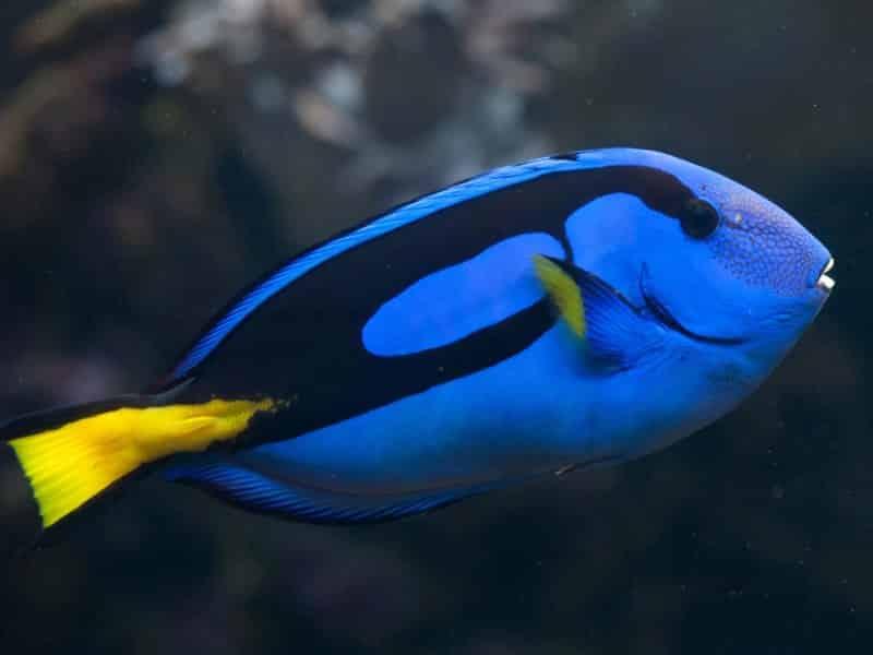 Karakteristik Ikan Dori Remaja-Dewasa - Thegorbalsla