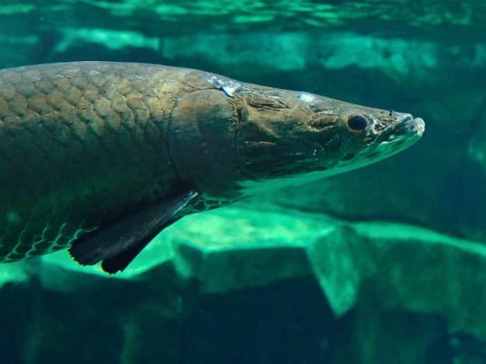Ikan Arapaima